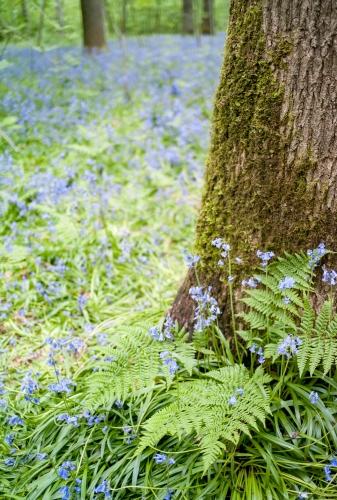 Zonienwoud, with blue flowers in bloom.