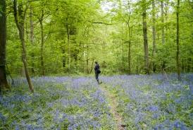 The blue flowers of Zonienwoud in Belgium.